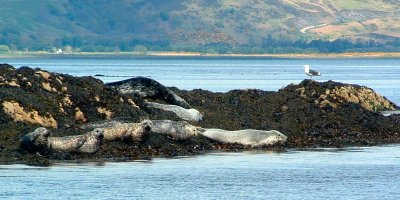 Grey seals and Common seals on their haul out near Kyle Rhea