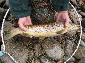 This fine trout was taken in the Dundonnell River at the end of August. (photo by Johnie Parry)
