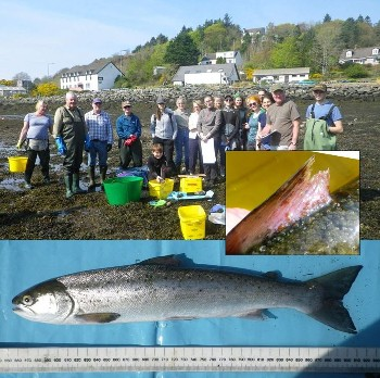 Sweep netting team, Flowerdale, 19th April 2019 and sea trout with (inset) lice-damaged dorsal fin