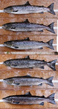 The six grilse which were recorded in the upstream trap on 9 & 10 October (Ben Rushbrooke).