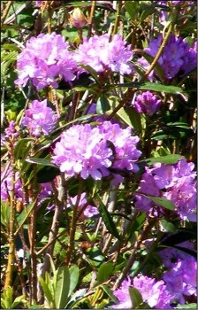 Rhododendron ponticum has spread from gardens in pany parts of the WRFT area