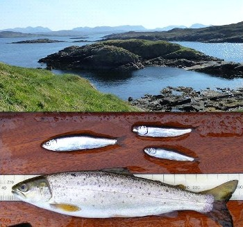 Wester Ross coastal sea, sprats and a well fed finnock (top photo by Hamish Allen)