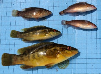 Anaesthetised Ballan & Corkwing wrasse & Rock cook from Loch Ewe sweep net sample, July 2009
